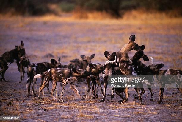 Botswana Okavango Delta Mombo Island African Hunting Dogs Puppies Playing