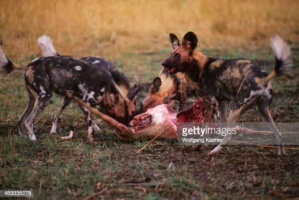 Botswana Okavango Delta Mombo Island African Hunting Dogs With Impala Kill