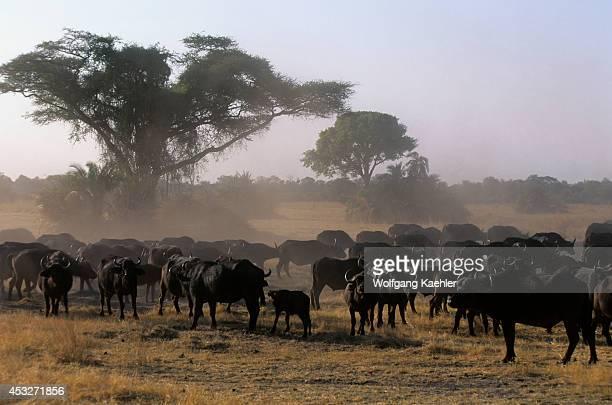 Botswana Okavango Delta Mombo Island Cape Buffalo Herd