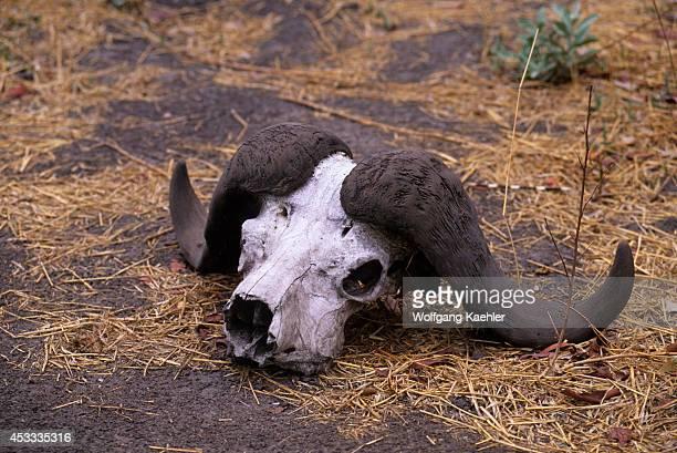 Botswana Okavango Delta Mombo Island Cape Buffalo Skull