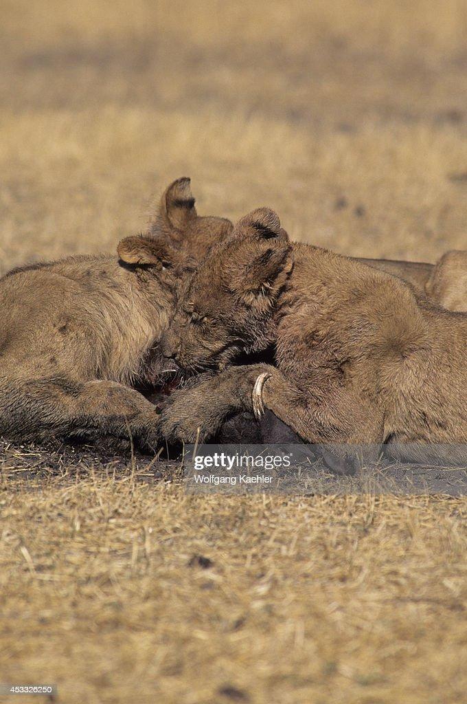botswana okavango delta mombo island lions feeding on warthog