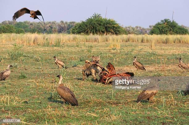 Botswana Okavango Delta Mombo Island Zebra Kill Spotted Hyena And Vultures