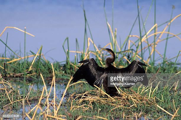 Botswana Okavango Delta Moremi Wildlife Reserve African Darter Drying Wings