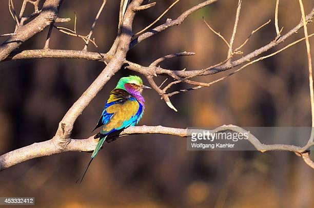 Botswana Okavango Delta Moremi Wildlife Reserve Lilacbreasted Roller