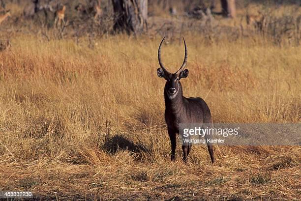 Botswana Okavango Delta Moremi Wildlife Reserve Waterbuck Male