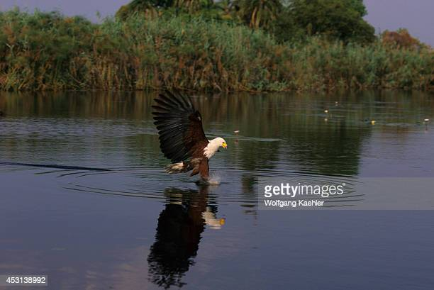 Botswana Okavango Delta Near Jedibe African Fish Eagle Fishing