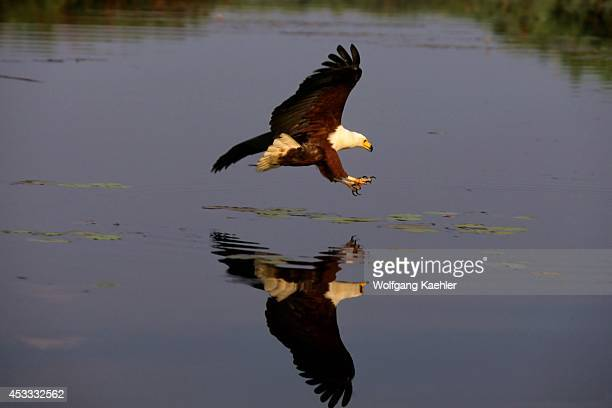 Botswana Okavango Delta Near Jedibe African Fish Eagle Fishing