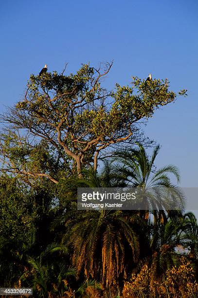 Botswana Okavango Delta Near Jedibe Island African Fish Eagles Perched In Tree