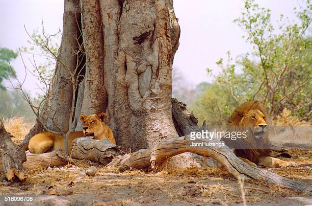Botswana Safari: Lion Couple Lying Near Huge Tree Trunk