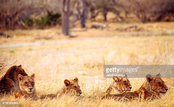 Botswana-Safari : Lion Jungtiere in Gelb Gras