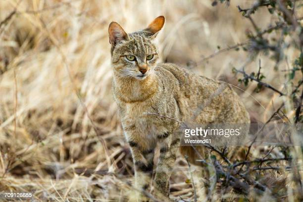 botswana, tuli block, portrait of african wildcat - asiatische wildkatze stock-fotos und bilder