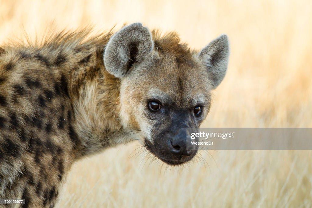 Botswana, Tuli Block, portrait of spotted hyena : Stock Photo