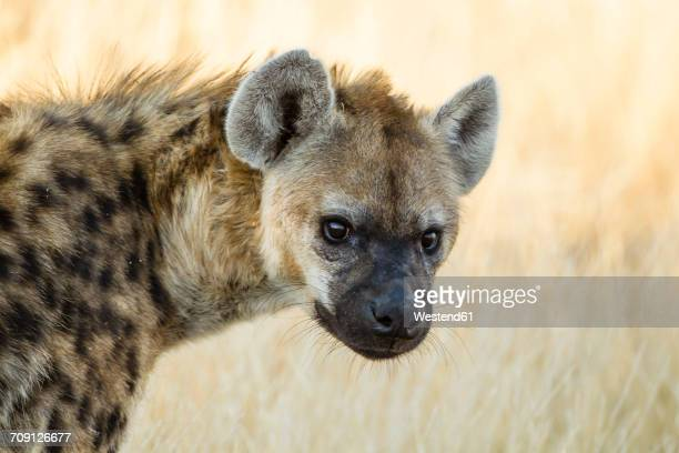 Botswana, Tuli Block, portrait of spotted hyena