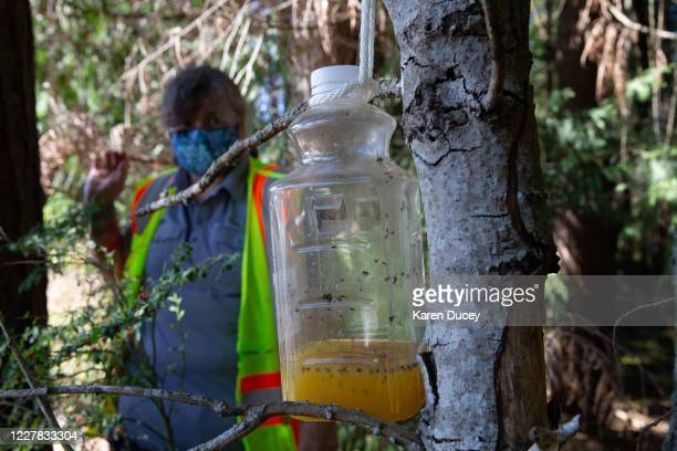 Bottle containing orange juice and rice cooking wine is set as a trap by Jenni Cena, pest biologist and trapping supervisor from the Washington State...