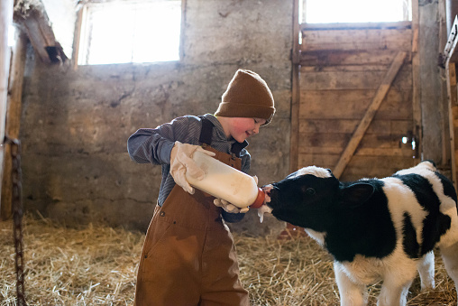 Bottle Feeding Calf 1094974240