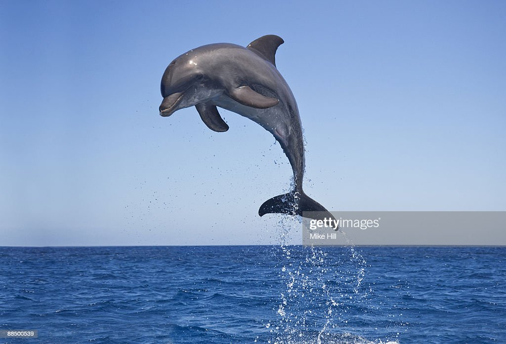 the background information of the bottle nosed dolphin Bottlenose dolphins have a sharp sense of hearing scientists believe that the sounds travel through the dolphin's lower jaw to its inner ear and then are transmitted to the brain for analysis dolphins grow to be anywhere from 6 to 12 feet long.