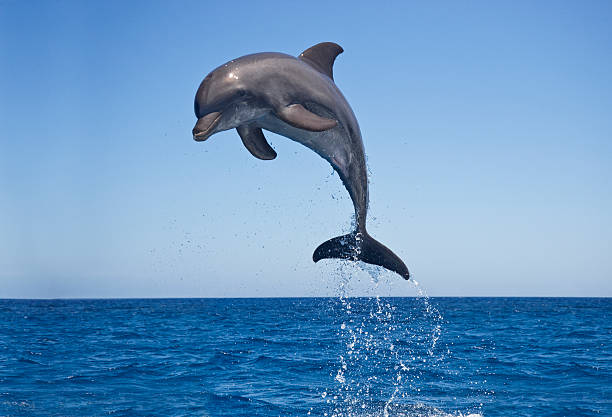 Bottle nosed Dolphin Jumping