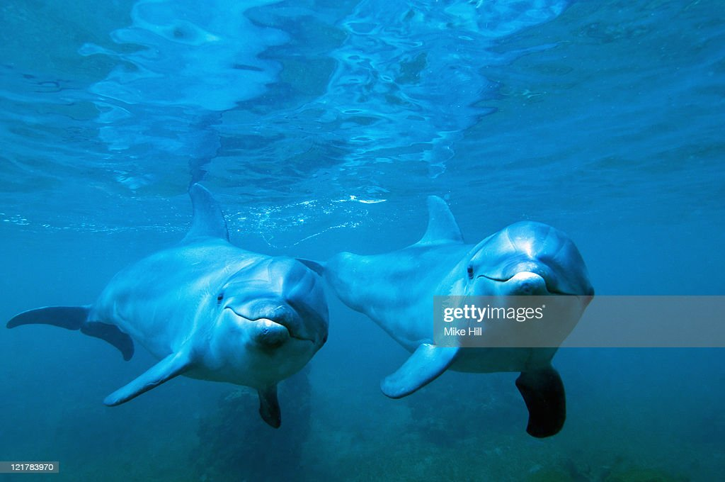 Bottle nosed Dolphin (Tursiops truncatus) underwater, Honduras : Stock Photo