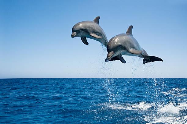 Bottle nosed Dolphins Tursiops truncatusn jumping