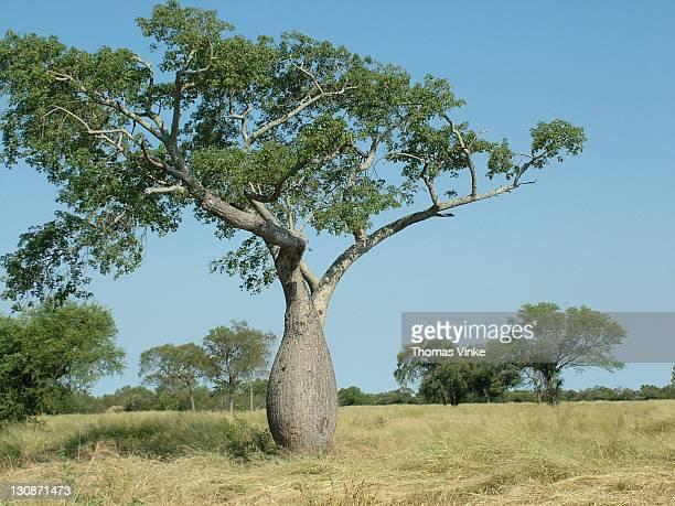bottle tree (chorisia insignis) at a typical savannah, gran chaco, paraguay - paraguay foto e immagini stock