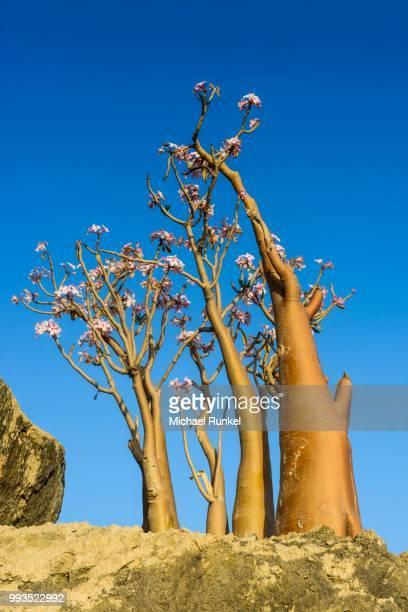 Bottle Tree (Adenium obesum) in bloom, endemic species, Socotra, Yemen