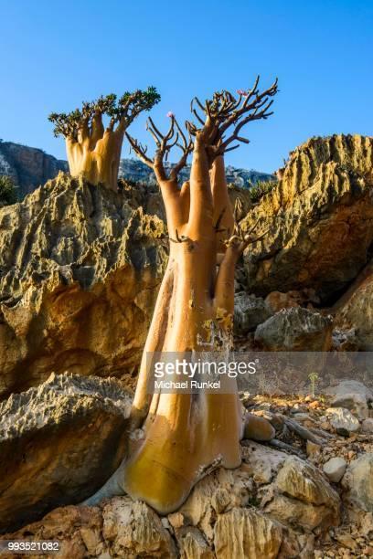 Bottle Trees (Adenium obesum) in bloom, endemic species, Socotra, Yemen