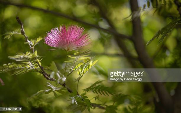 bottlebrush - rancho palos verdes stock pictures, royalty-free photos & images