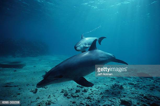 Bottlenose Dolphin and Calf