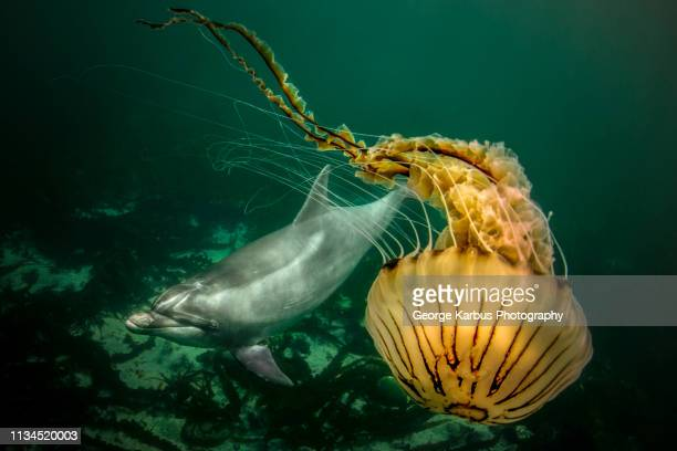 bottlenose dolphin and compass jellyfish - mammal stock pictures, royalty-free photos & images