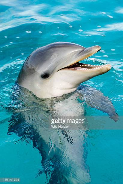Bottlenose dolphin calf at six months Tursiops truncatus Dolphin Academy Seaquarium Curacao Netherlands Antilles