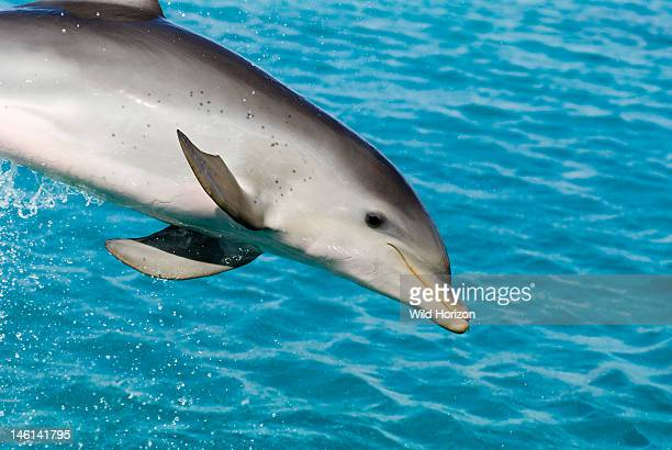 Bottlenose dolphin calf at six months Tursiops truncatus Dolphin Academy Seaquarium Curacao Netherlands Antilles