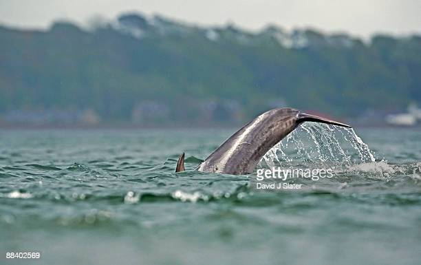 bottlenose dolphin diving - inverness stock photos and pictures