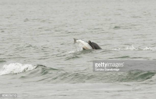 a bottlenose dolphin (tursiops truncatus) eating a fish (salmon, salmo salar), at the moray firth, highlands, scotland. - inverness stock photos and pictures