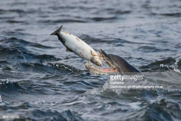 Bottlenose Dolphin (Tursiops truncatus) Eating Salmon