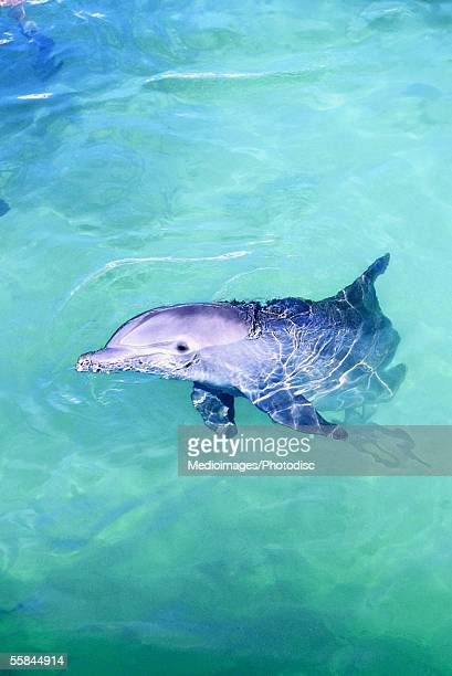 bottlenose dolphin in isla mujeres, mexico - isla mujeres stock pictures, royalty-free photos & images