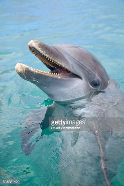 A Bottlenose Dolphin (Tursiops Truncatus) In The Water At Anthony's Key Resort