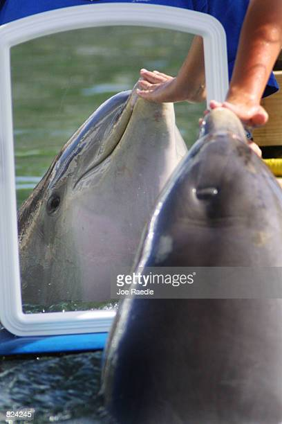 A bottlenose dolphin is reflected in a mirror May 4 2001 at the Dolphins Plus marine mammal research and education center in Key Largo Florida Two...