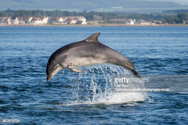 bottlenose dolphin (tursiops truncatus) jumping in blue water in the moray firth, scotland - dolphin stock photos and pictures