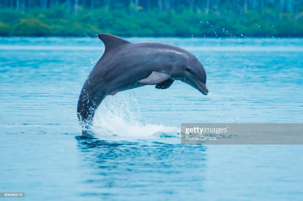 Bottle-nose dolphin (Tursiops truncatus) jumping in Caribbean sea : Stock Photo
