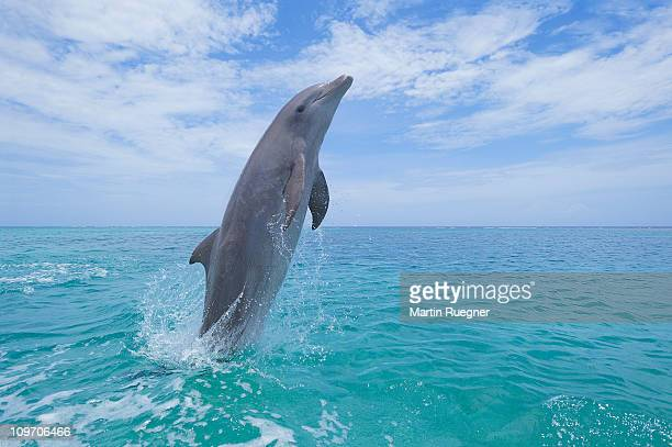 Bottlenose dolphin jumping in sea.