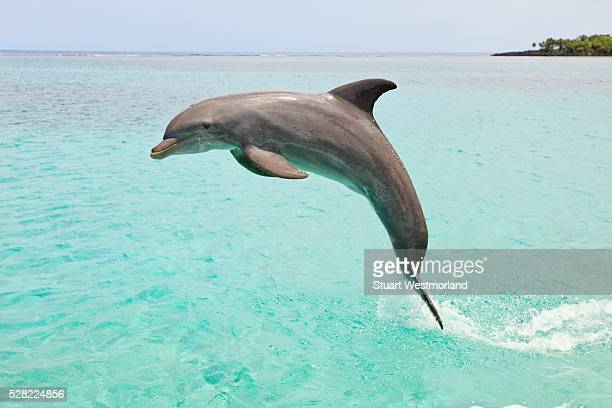 A Bottlenose Dolphin (Tursiops Truncatus) Jumping Out Of The Water At Anthony's Key Resort