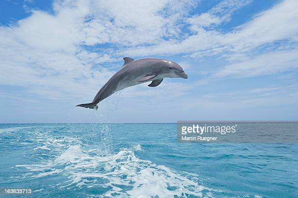 bottlenose dolphin jumping - dolphin stock pictures, royalty-free photos & images