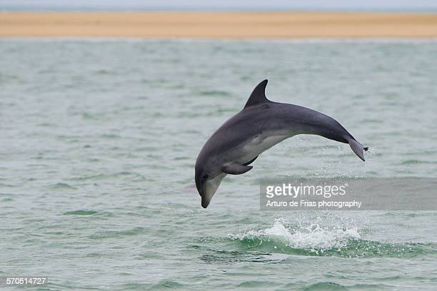 Bottlenose Dolphin jumps out of the water