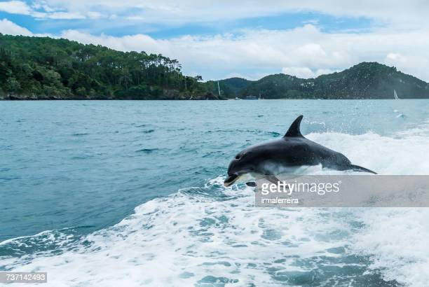Bottlenose dolphin leaping out of sea, Bay of Islands, North Island, New Zealand