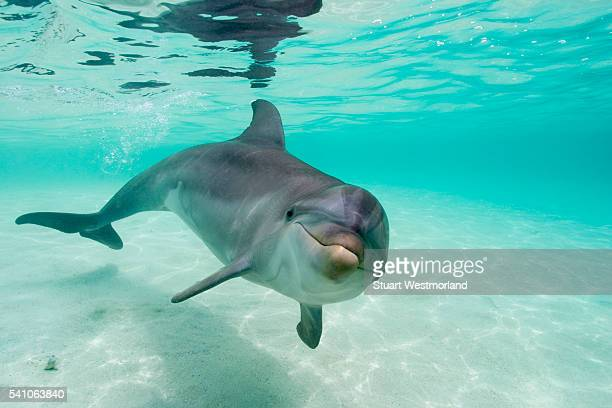 bottlenose dolphin - dolphin stock pictures, royalty-free photos & images