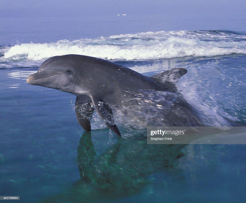 Bottlenose Dolphin : Stock Photo