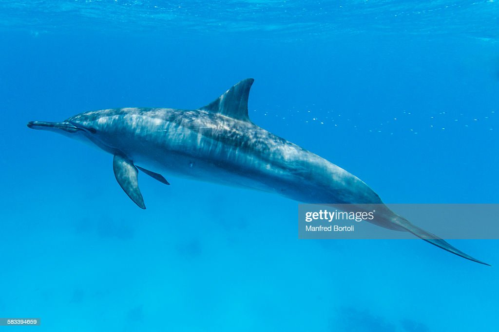 Bottlenose dolphin swimming close to the surface : Stock Photo