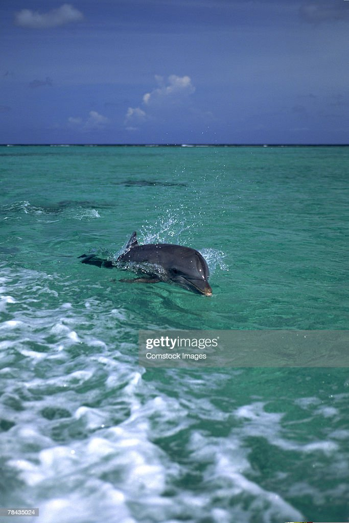 Bottlenose dolphin swimming , Honduras : Stockfoto
