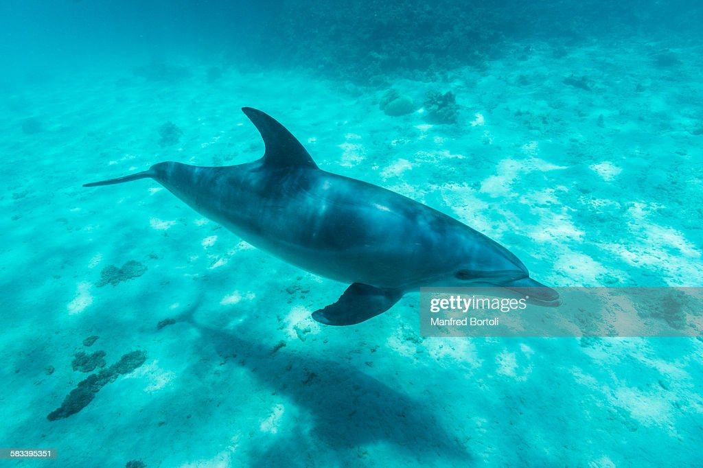 Bottlenose dolphin swimming on the white sand : Stock Photo