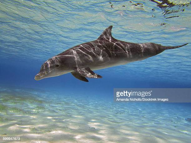 A bottlenose dolphin swimming the Barrier Reef, Grand Cayman.